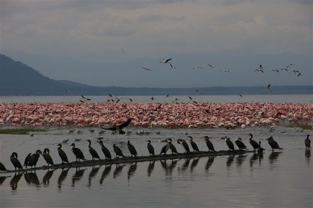 Flamingo cormorants