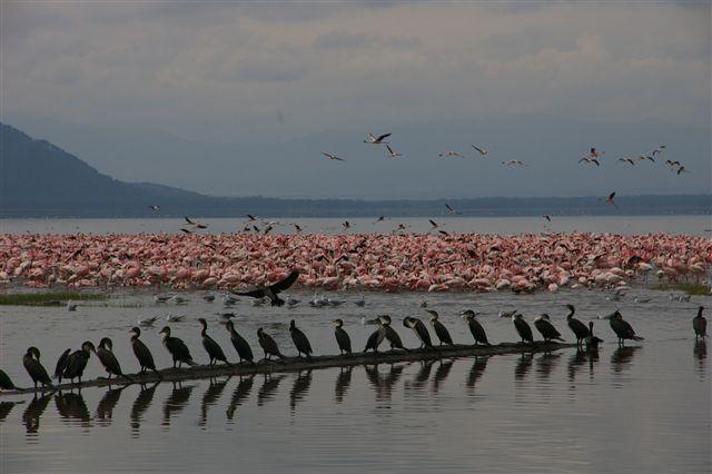 Flamingo cormorants