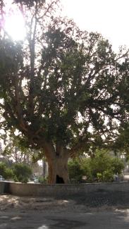 58 Zaccarias' tree