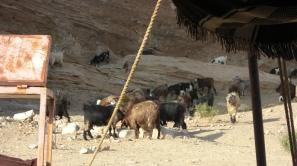 161 Bedouin goats
