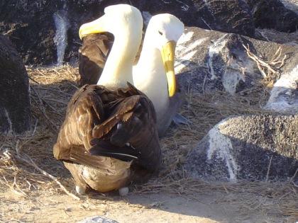 EM waved albatros