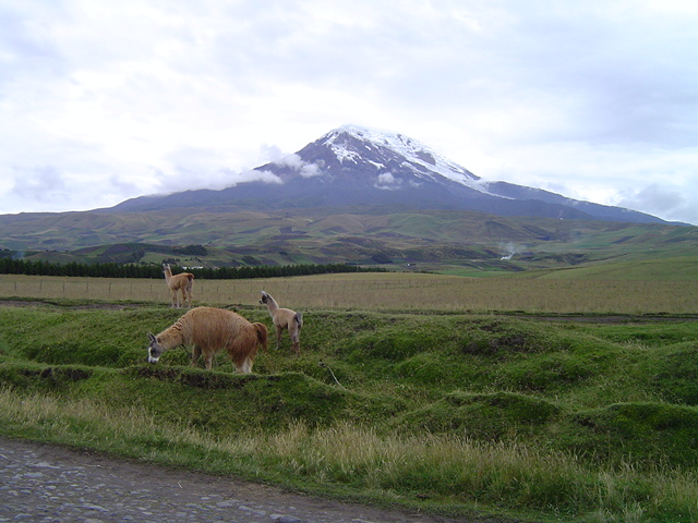 Alpacas in front of Mt. Chimbaraozo