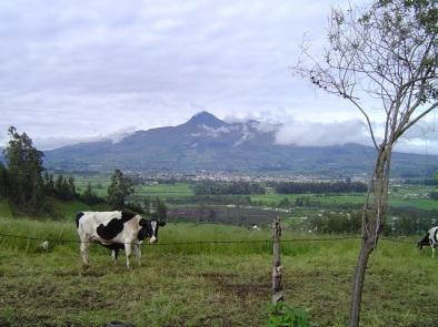 EMHolstein cow