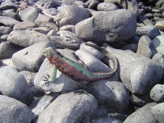 iguana01264
