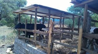 Kenya18 cow