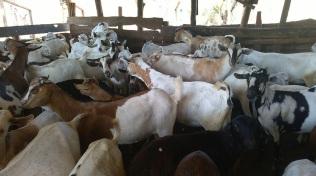 Kenya18 goats