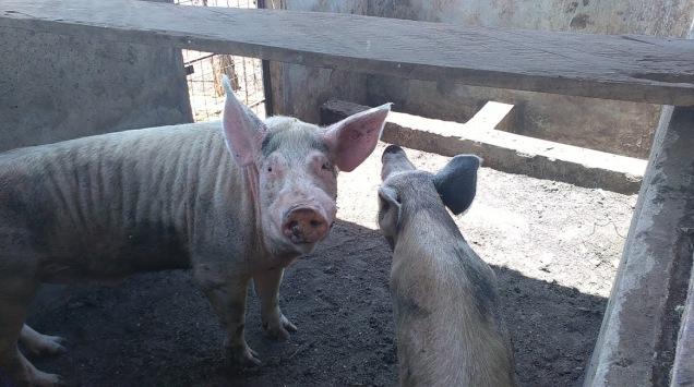 Kenya18 pigs